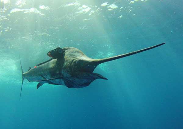 pez espada etiquetado