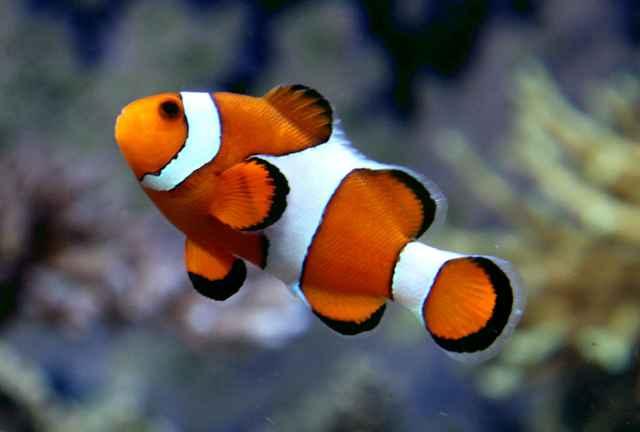 pez payaso (Amphiprion ocellaris)
