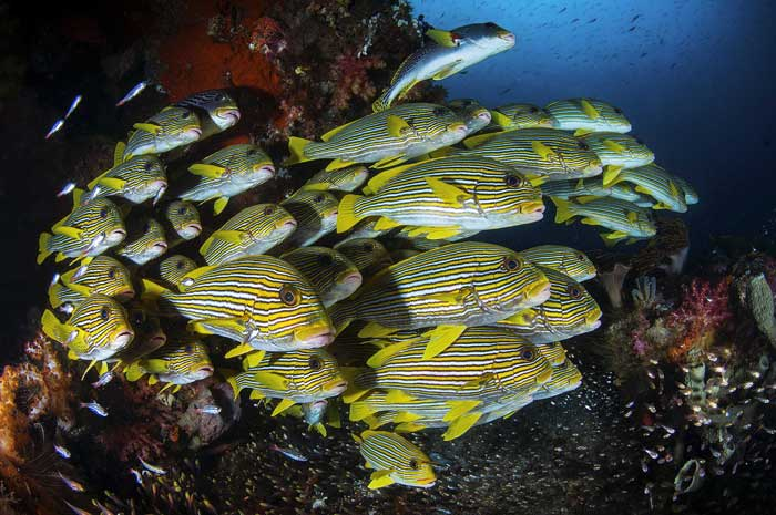 Plectorhinchus polytaenia