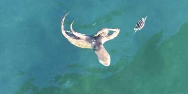 pulpo caza a un cangrejo en el agua