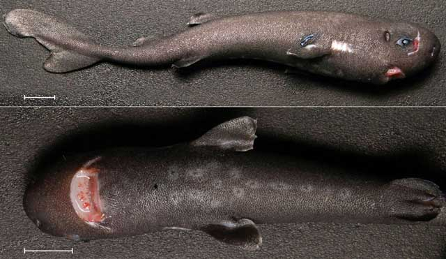 tiburón de bolsillo (Mollisquama parini) encontrado en el Golfo de México