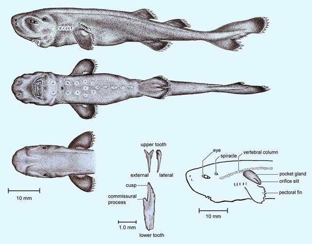 detalles de un tiburón de bolsillo (Mollisquama parini)