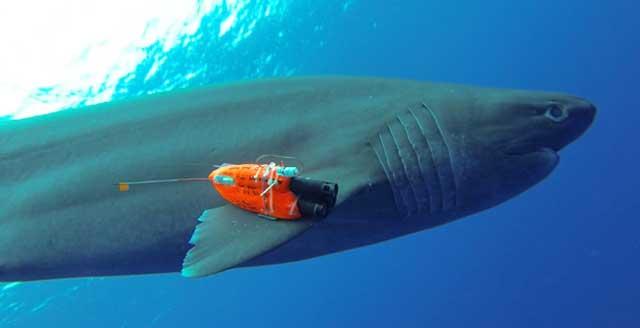 tiburón cañabota gris marcado