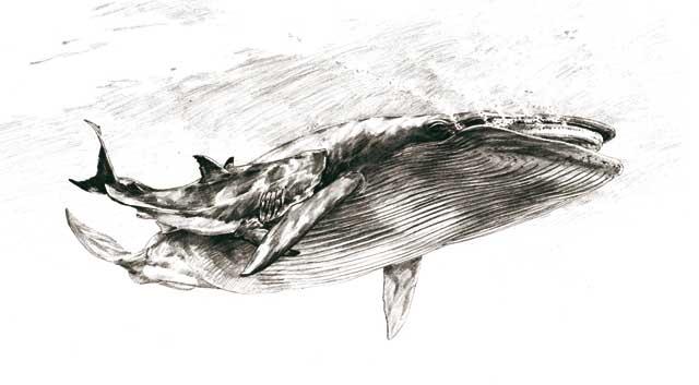 tiburón muerde a una ballena