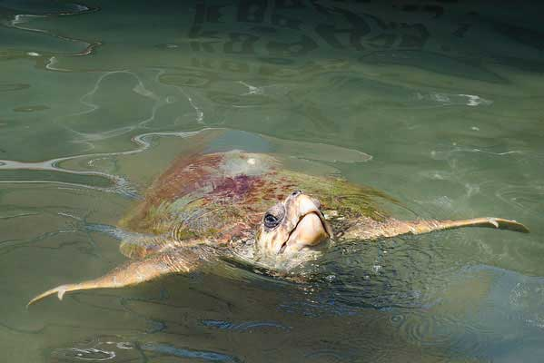 tortuga marina en Turquía