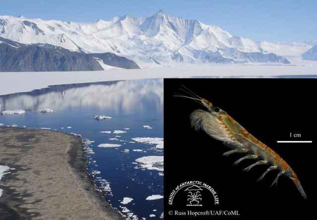 Euphausia superba en la Antártida