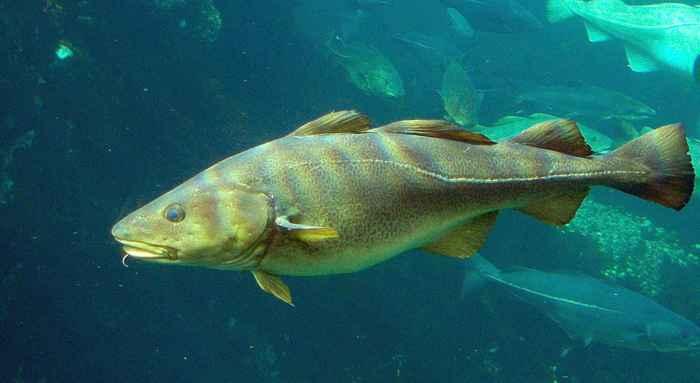 bacalao del Atlántico (Gadus morhua)