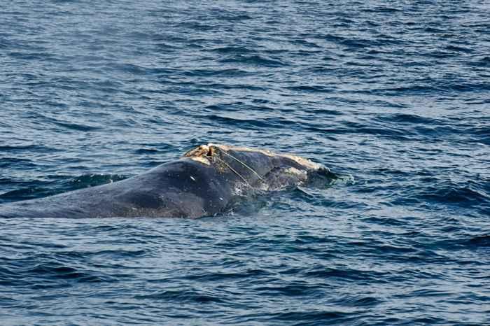 ballena enredada nadando