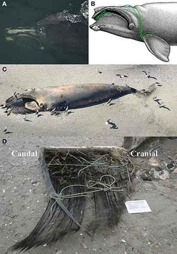 ballena enredada Eg2301