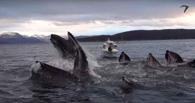ballenas jorobadas se alimentan por red de burbujas
