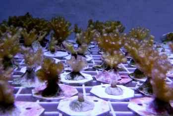 clones de coral coliflor