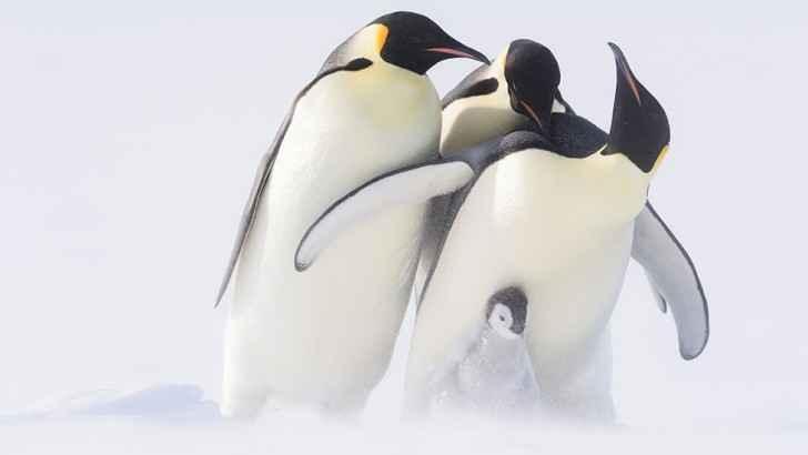 intento de secuestro de un pollito de pingüino