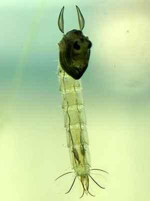 larva de Chaoborus