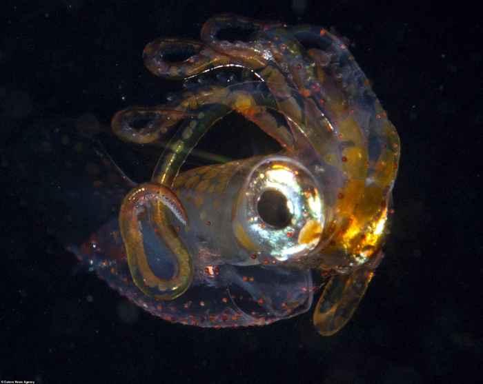 larva de calamar