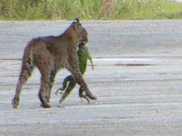 lince caza una iguana en Florida