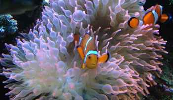 peces payaso en una anémona