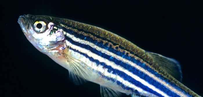 pez cebra mutante