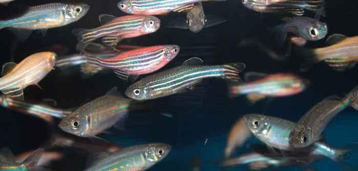 pez tetra mexicano (Astyanax Mexicanus)