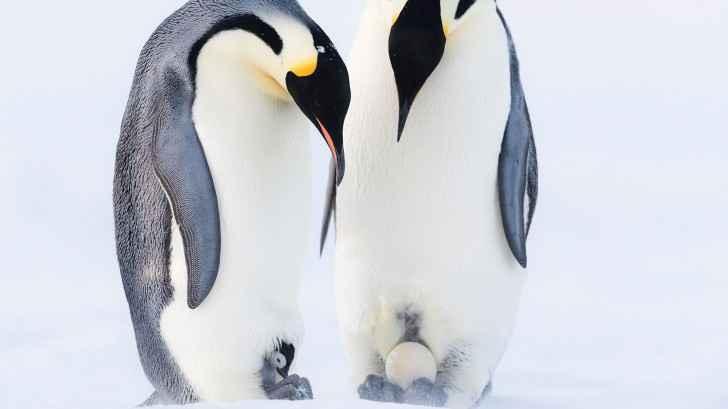 pingüinos emperador incubando