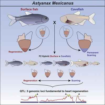 regeneración del corazón en pez superficie y cueva