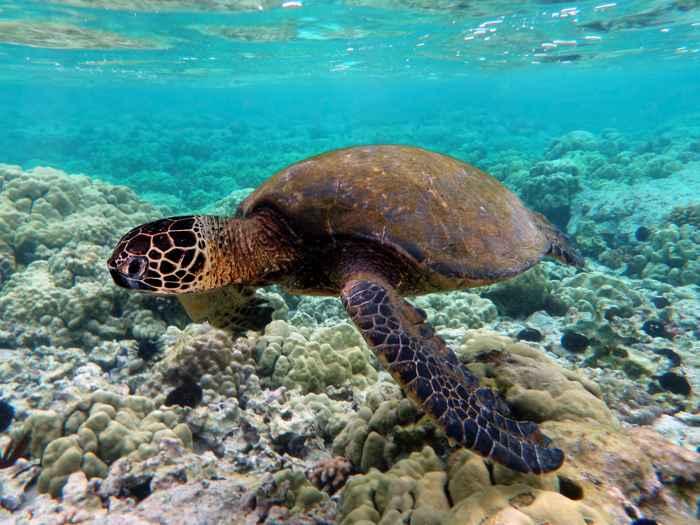 tortuga marina verde (Chelonia mydas)