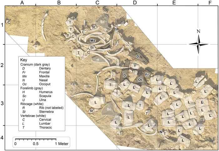 Basilosaurus isis y restos de huesos