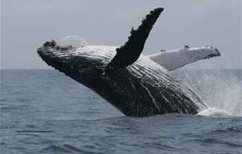 ballena jorobada saltando