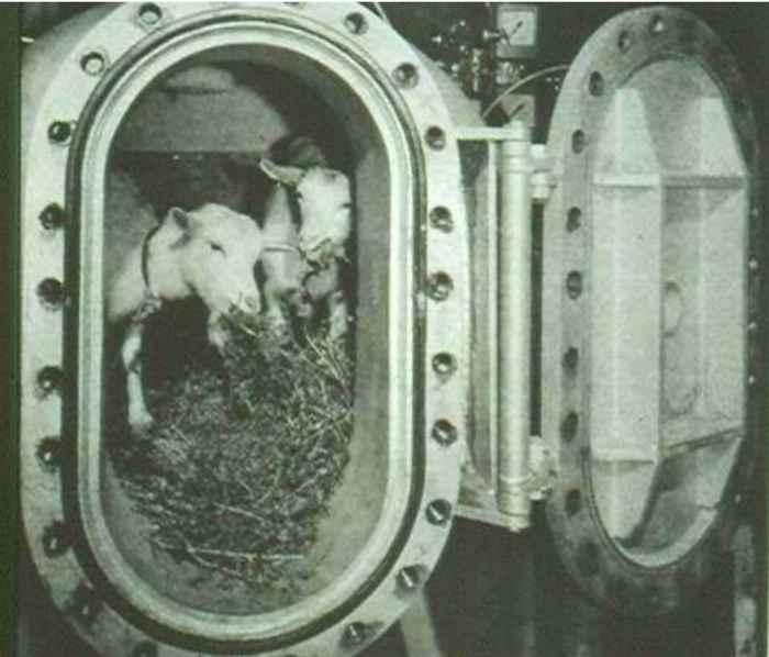 cabras en una cámara de descompresión