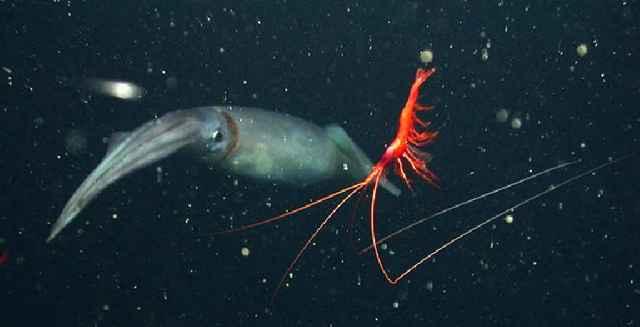 camarón zombie junto a un calamar de Humboldt