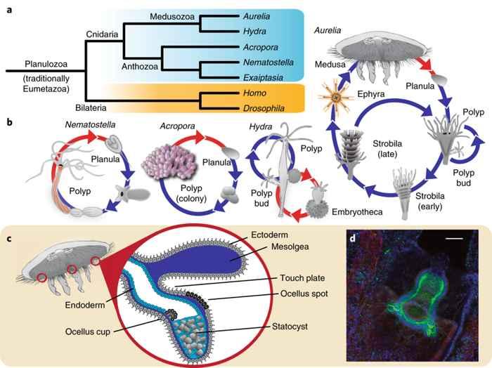 ciclo de vida de las cnidarias