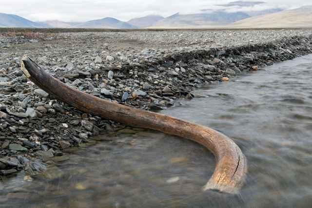 colmillo de mamut lanudo en la isla de Wrangel