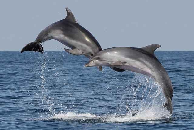 delfines mulares (Tursiops truncatus)