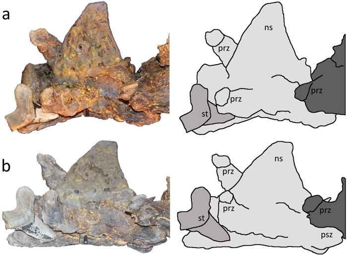 dientes de tiburón en fósil de Pteranodon