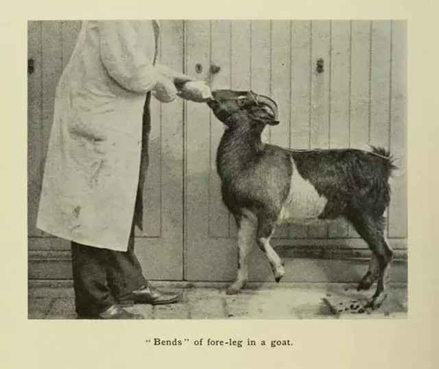 experimentos con cabras para las curvas