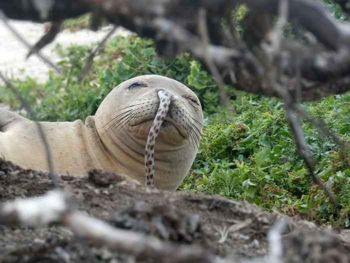 foca con una anguila en la nariz