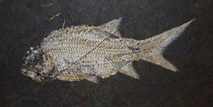 fósil de pez Paramblypterus
