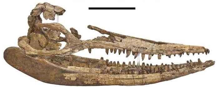 fósil de Protoichthyosaurus prostaxalis