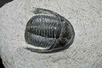 fósil de trilobites Diademaproetus