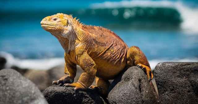 iguana terrestre de Galápagos (Conolophus subcristatus)