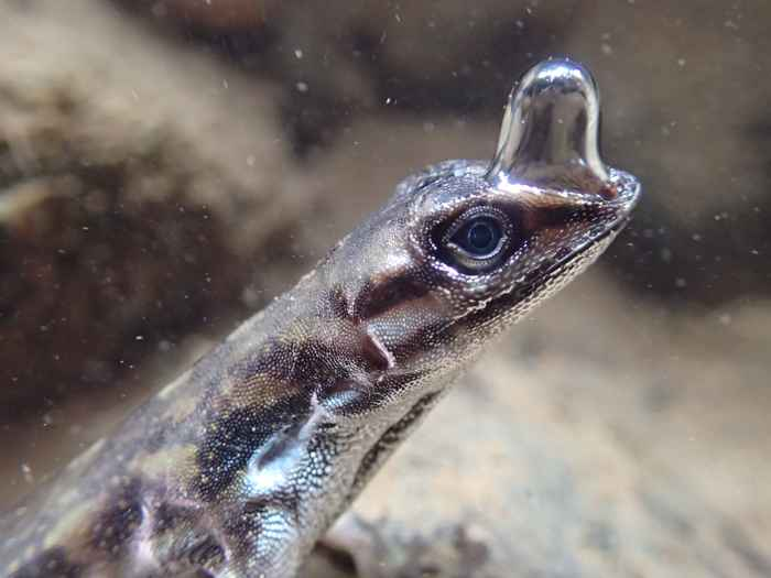 lagarto buceador (Anolis aquaticus)