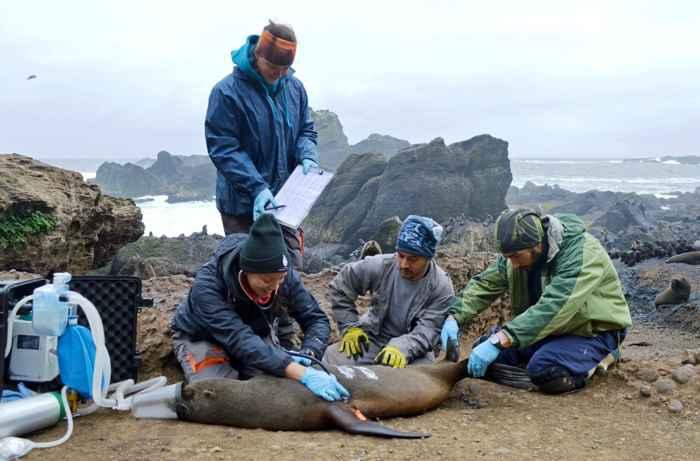 cuidados a un lobo marino en la isla de Guafo
