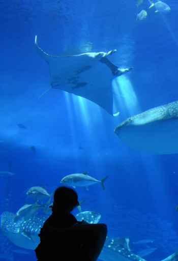 mantarraya gigante en el acuario de Okinawa