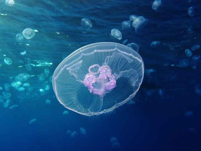 medusa luna Aurelia aurita