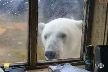 oso polar en una ventana