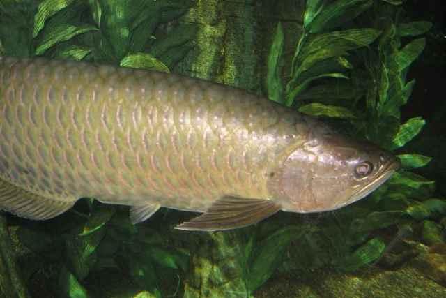pez Saratoga