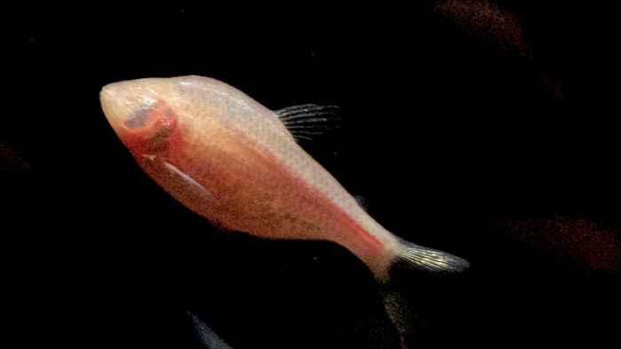 pez ciego cavernario mexicano (Astyanax mexicanus)