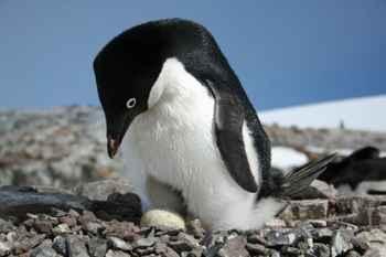 pingüino Adelia