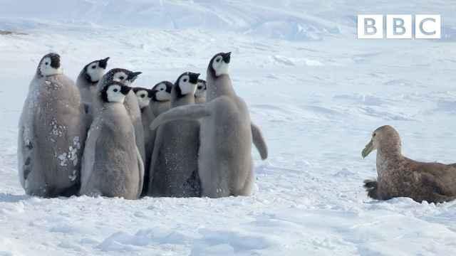 pingüinos se defienden de un petrel gigante