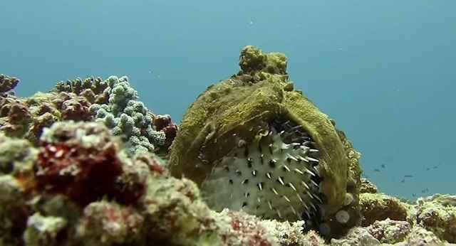 pulpo ataca a un pez globo