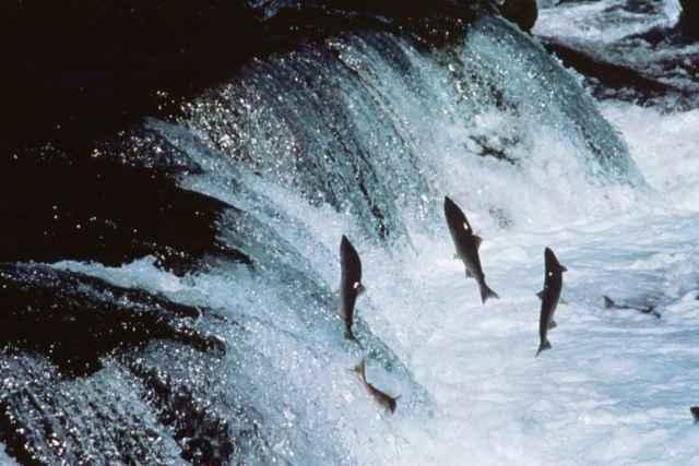salmones salvando una represa